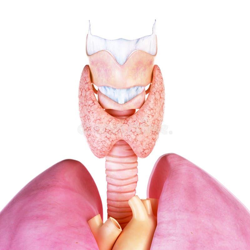 A glândula de tiroide e a laringe humanas ilustração royalty free