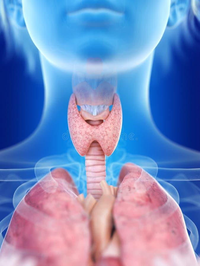 Glândula de tiroide de uma mulher ilustração stock