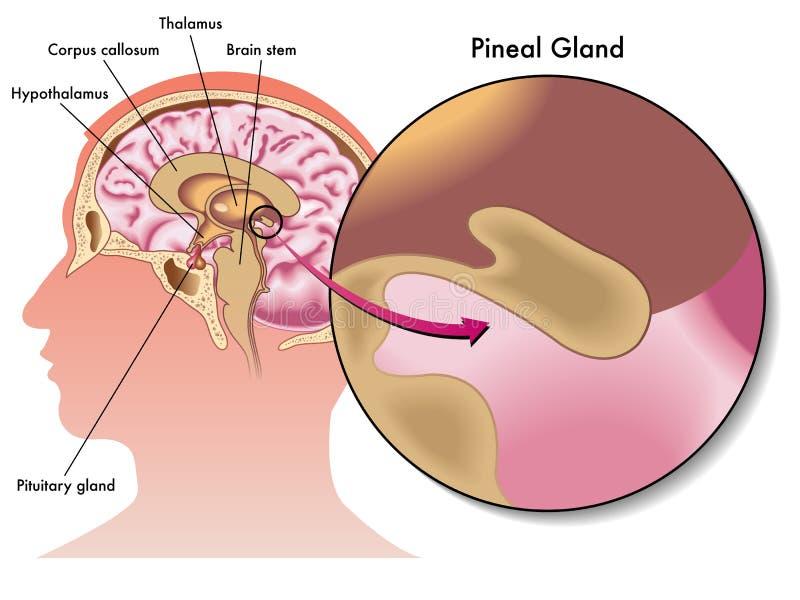 Glândula pineal ilustração royalty free
