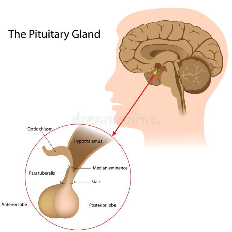 A glândula pituitária ilustração royalty free