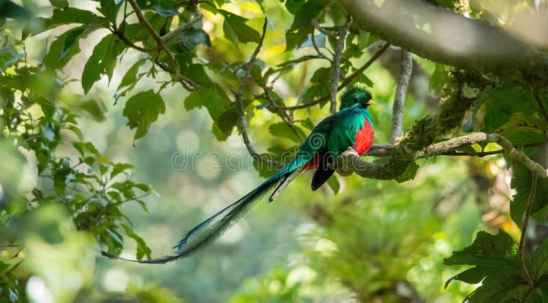 Glänsande Quetzal