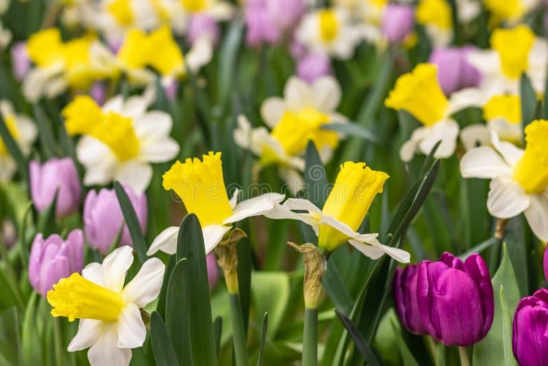 Glänta av färgrika tulpan och påskliljor som en bakgrund arkivbild