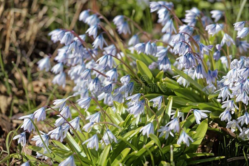 Glänta med vita snödroppar på våren grunt djupfält royaltyfri bild
