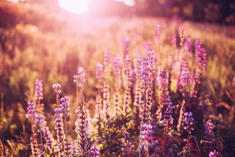 Gläntan av den lösa blomningen blommar Lupine i sommarängfält i solljus royaltyfria bilder