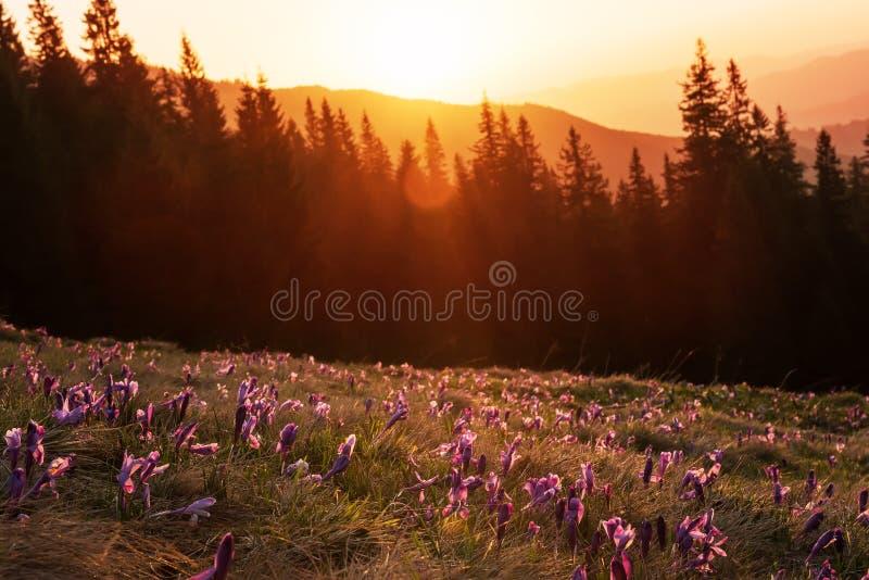 Gläntan med blomningkrokus blommar i ottan i bergen Solen stiger bakifrån skogen royaltyfria bilder
