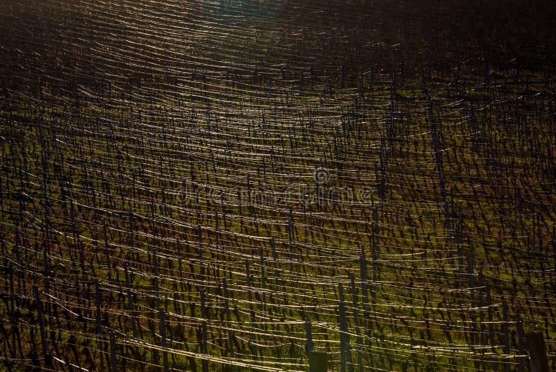 Glänzen Sie, Linien des Weinbergs wiederholend lizenzfreie stockbilder