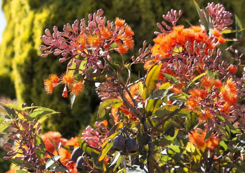 Glänzende Blüten Eukalyptus ficifolia des australischen WestScharlachrots blühenden Eukalyptus im Frühsommer stockbild