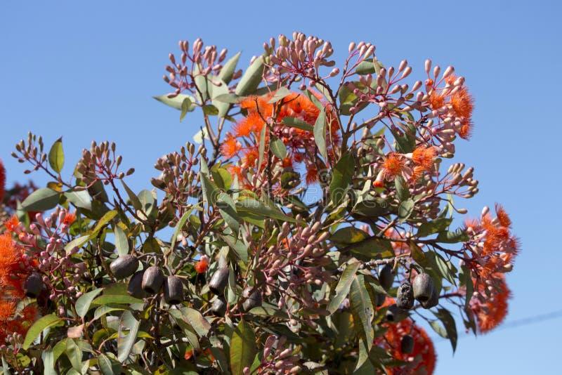 Glänzende Blüten Eukalyptus ficifolia des australischen WestScharlachrots blühenden Eukalyptus im Frühsommer lizenzfreie stockfotos