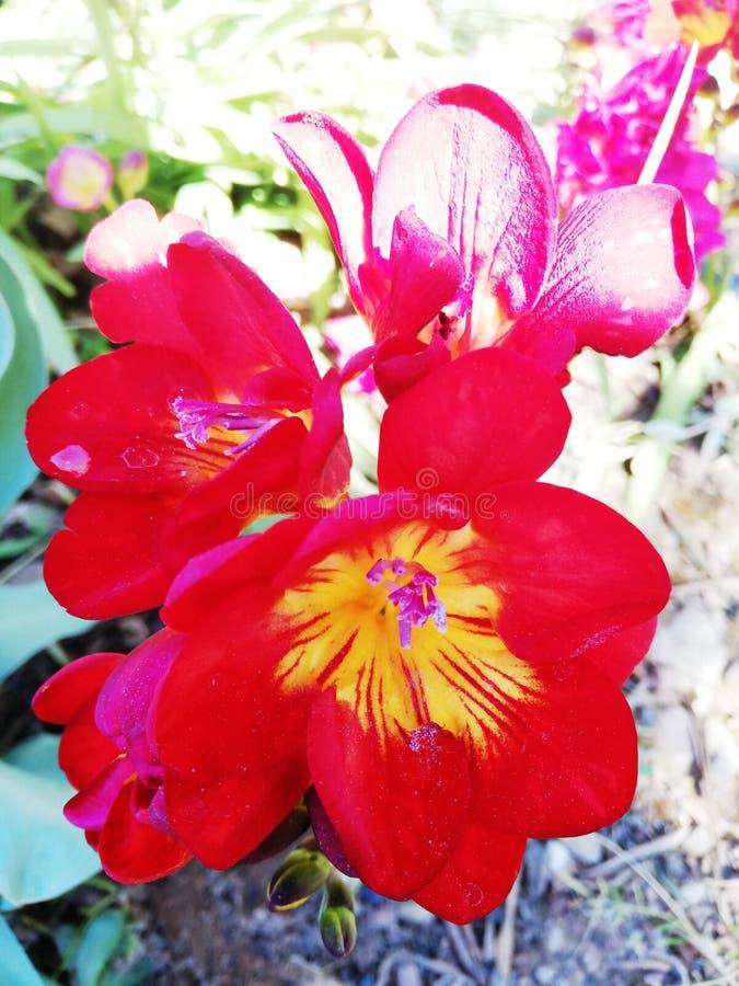 glänzende rote Gartennelke lizenzfreie stockfotos