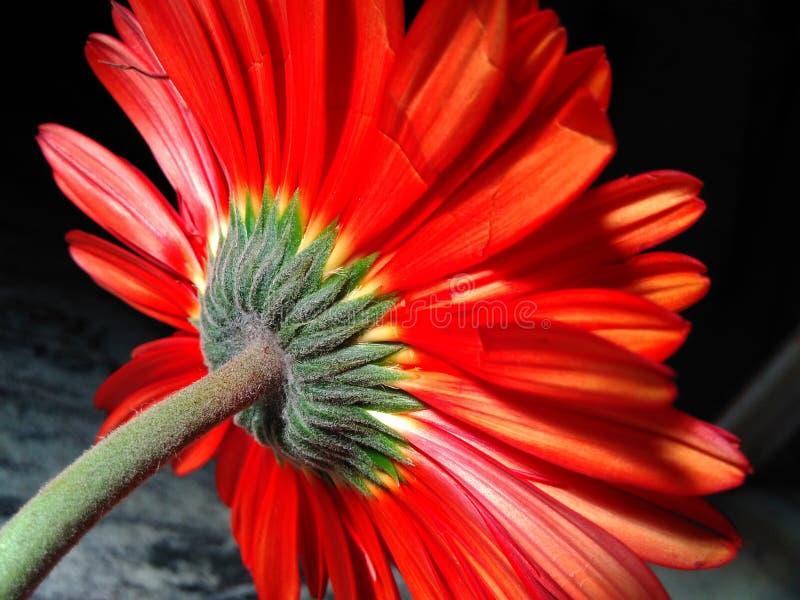 Glänzende Sonnenblume lizenzfreies stockfoto