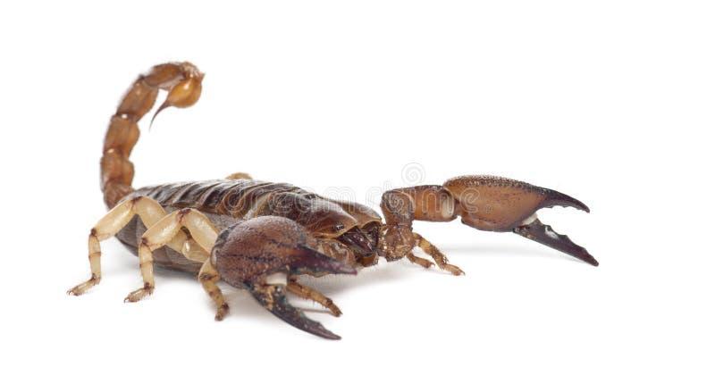 Glänzender grabender Skorpion lizenzfreie stockfotografie