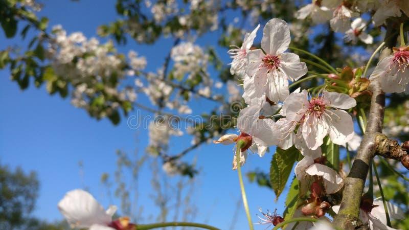 Glória da flor de Flowertree imagens de stock royalty free