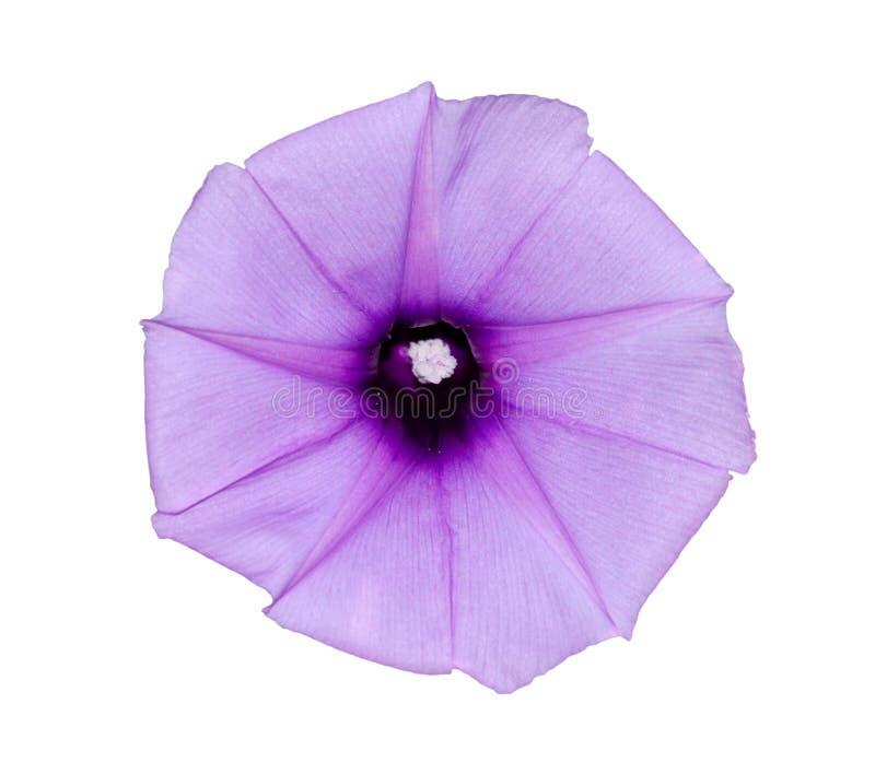 Glória de manhã da flor fotografia de stock