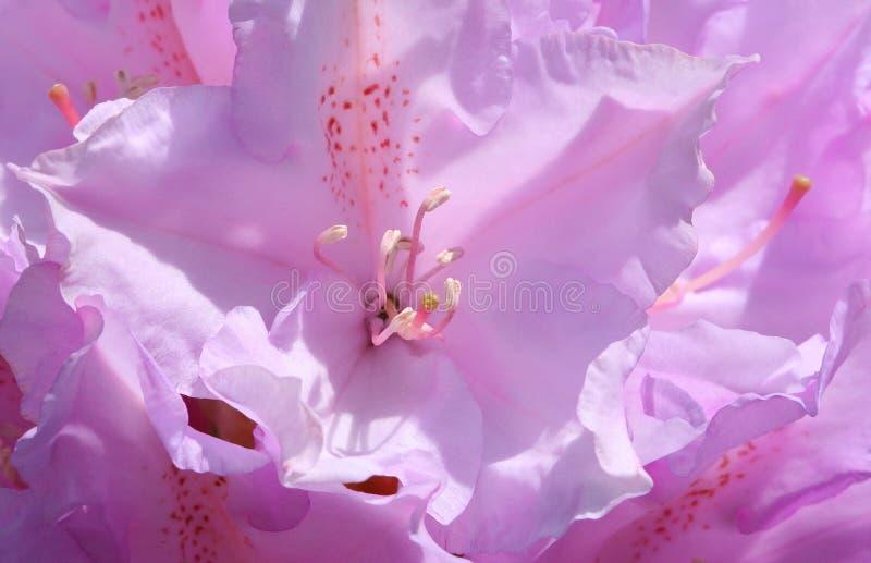 glödande rhododendron royaltyfri foto