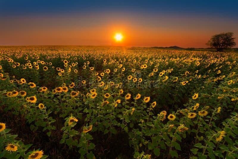 Glödande solrosor på solnedgången arkivfoto