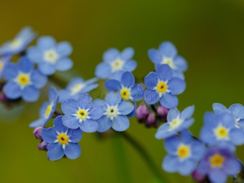 Glöm mig - inte blomma i dagsljus royaltyfri bild