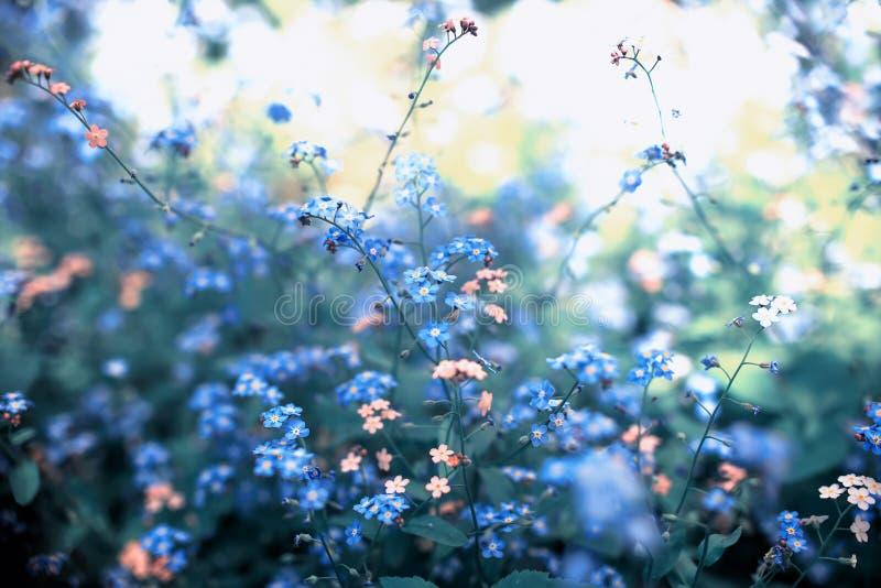 glömma-me-olika skuggor för små blommor av den blåa och rosa blommade på våren soliga trädgården arkivfoton