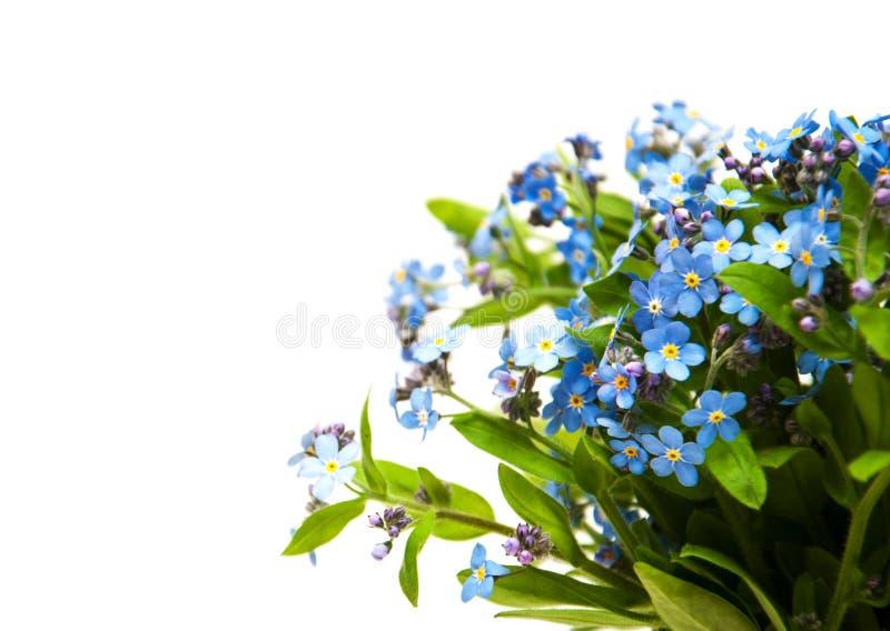 Glömma-mig-nots blommor royaltyfria bilder
