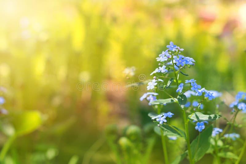 Glömma-mig-nots på en solig bakgrund Delikat blom- bakgrund kopiera avstånd arkivfoton