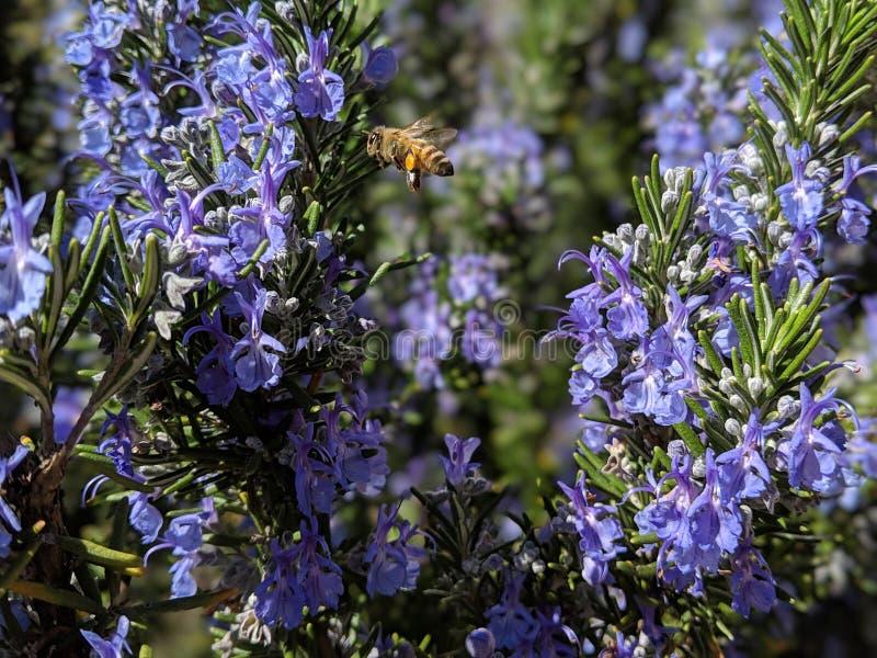 Glückliche beschäftigte Honigbiene, die nach dem Nektar schwebt über blühenden Lavendelbüschen summt und sucht lizenzfreie stockfotos