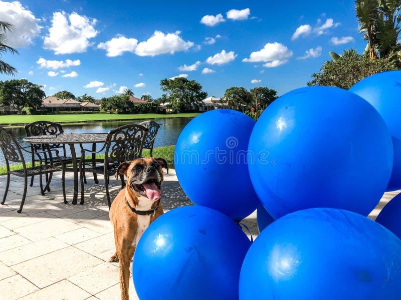 glückliche große Hundespiele mit einem Ballon stockfoto