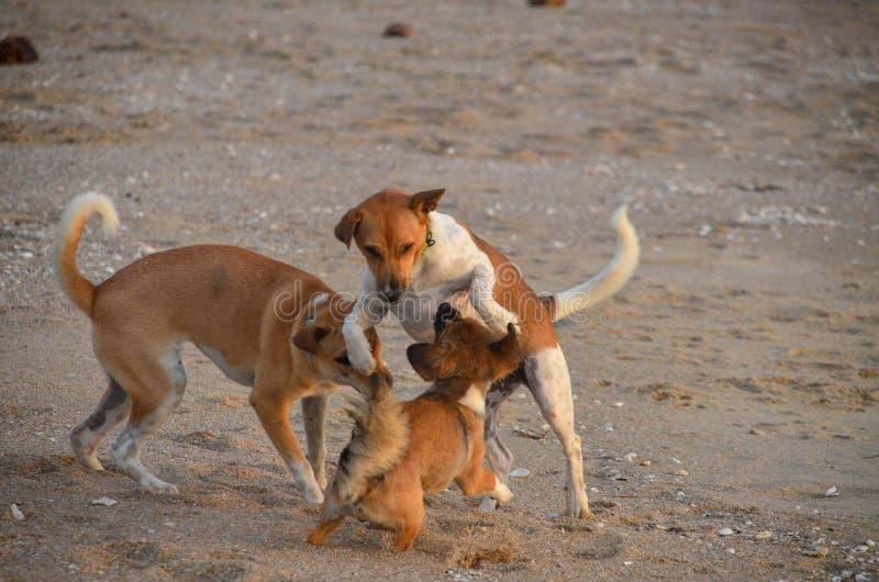 Glückliche Hunde spielen auf dem tropischen Sandstrand Huay Yong, Thailand stockbilder