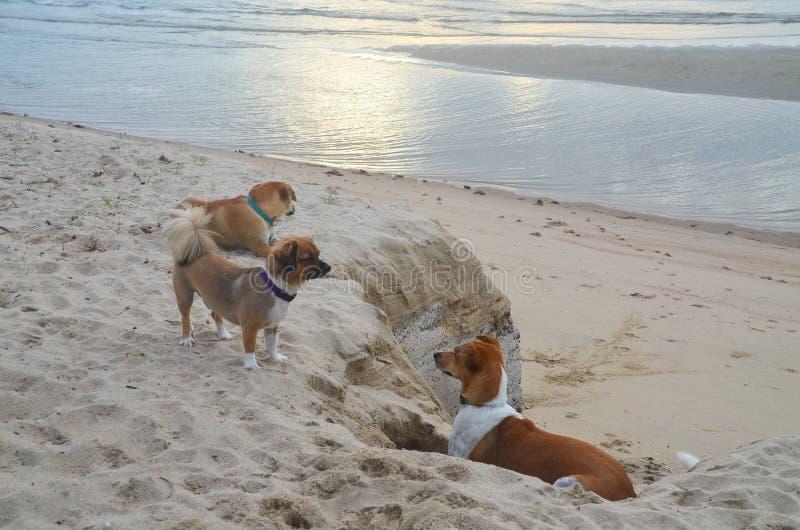 Glückliche Hunde spielen auf dem tropischen Sandstrand Huay Yong, Thailand lizenzfreies stockbild