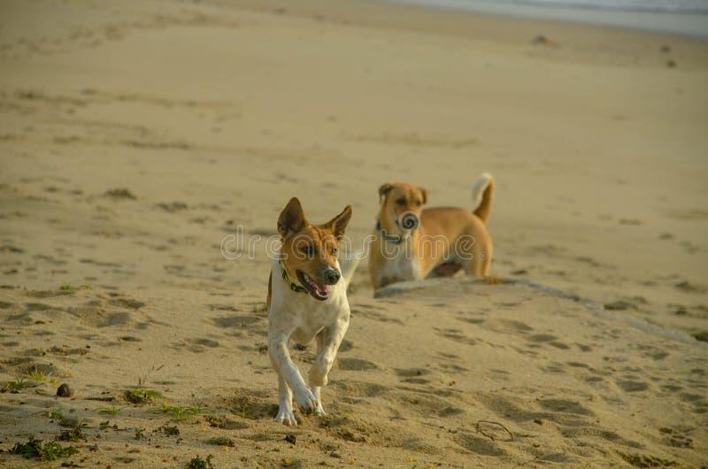 Glückliche Hunde spielen auf dem tropischen Sandstrand Huay Yong, Thailand lizenzfreie stockfotografie