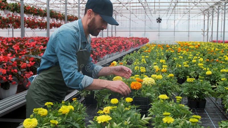 Glückliche industrielle Gewächshaus-Arbeitskraft Carry Boxes Full von Blumen Lächeln und glücklicher Mann mit Blumen er wachsend lizenzfreie stockbilder