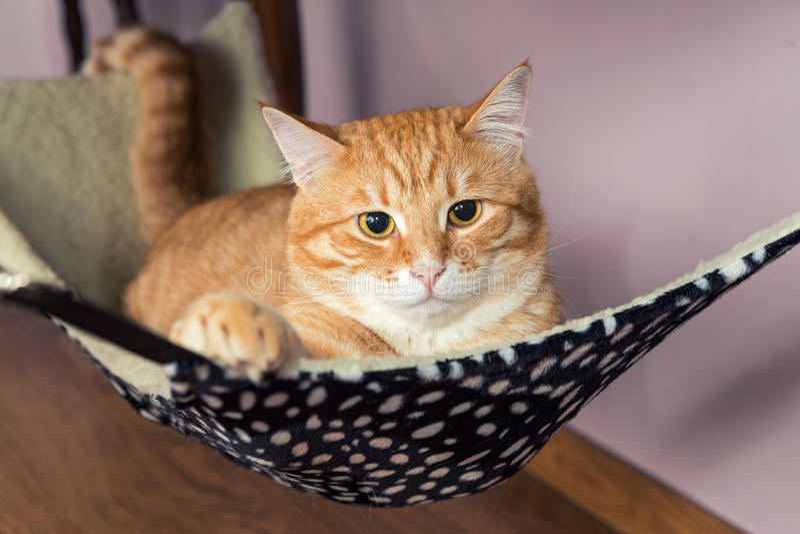 Glückliche Ingwer-Katze lizenzfreies stockbild