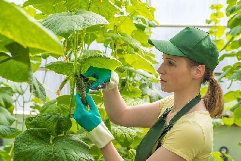 Glückliche junge Frau in der Uniform, frische Gurken der Schnitte in einem Gewächshaus Arbeit in einem Gewächshaus stockbild
