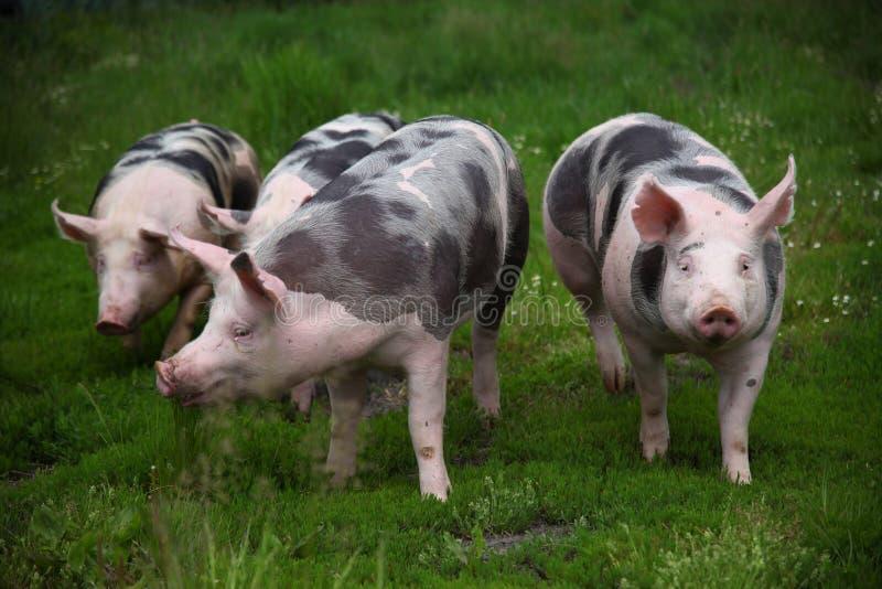Glückliche junge Schweine lassen auf eco Farm der Tiere weiden lizenzfreie stockfotografie