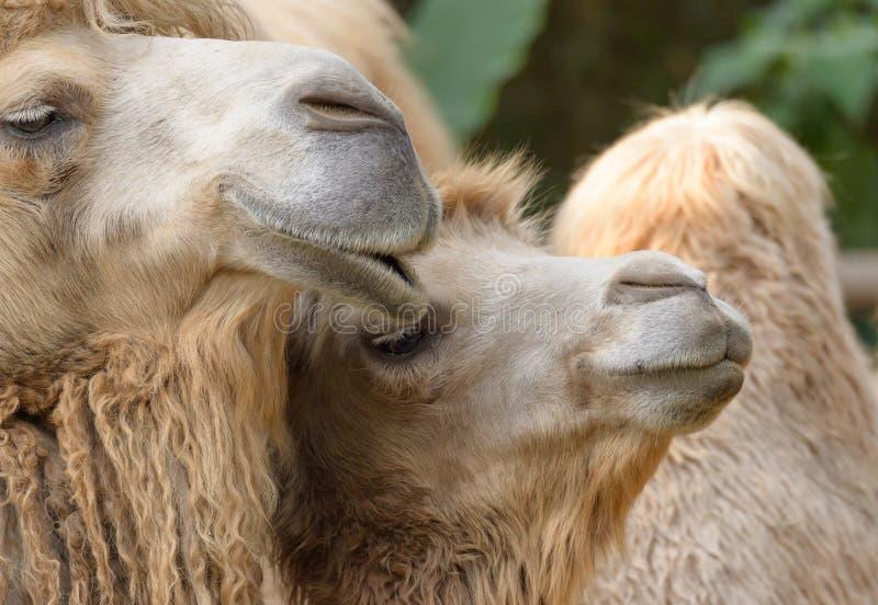 Glückliche Kamele lizenzfreies stockbild