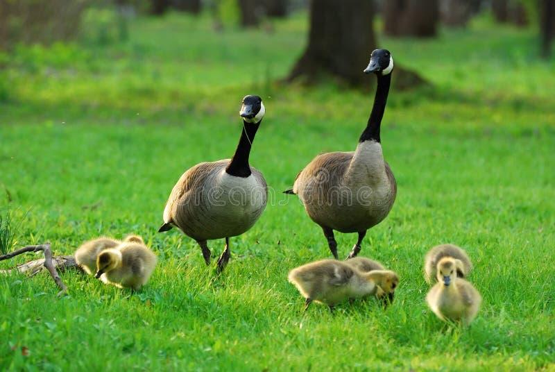 Glückliche kanadische Gansfamilie lizenzfreie stockfotos