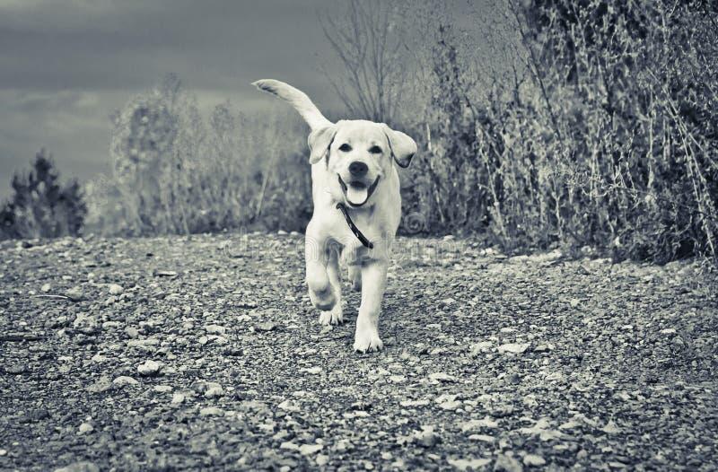 Glückliche Labrador-Welpenläufe zu Ihnen lizenzfreies stockfoto