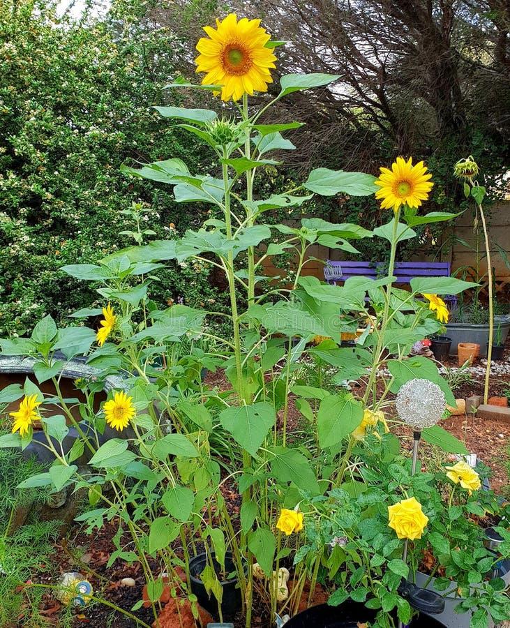 Glückliche Sonnenblumen fotografiert in Bloemfontein, Südafrika lizenzfreies stockfoto
