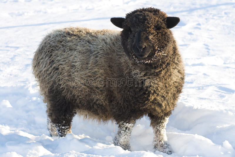 Glückliche wollige Romney Schafe im Schnee. lizenzfreies stockbild