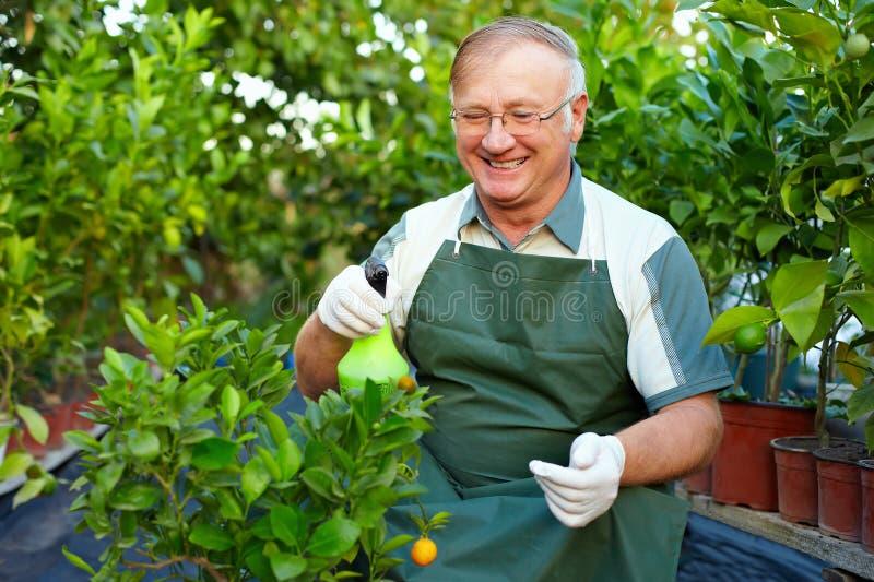 Glücklicher älterer Mann interessiert sich für Anlagen im Gewächshaus stockfotos