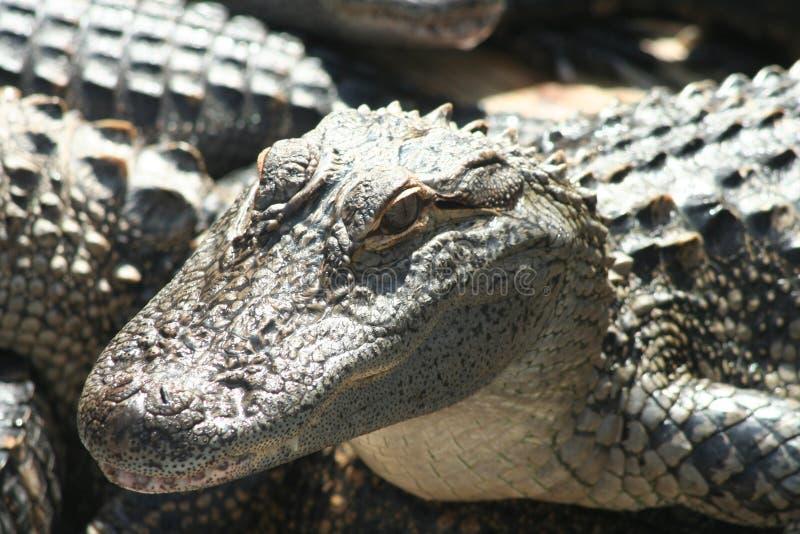 Glücklicher Alligator stockfotografie