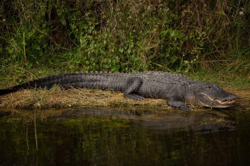 Glücklicher Alligator auf Land stockfoto