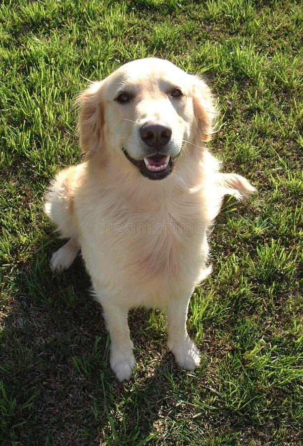 Download Glücklicher Apportierhund stockbild. Bild von hund, tier - 35059