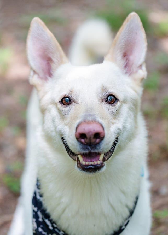 Glücklicher Ausdruck weißer Schäfer-Dog Outdoors Closeups stockbild