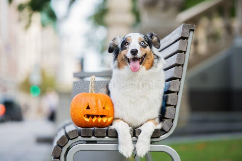 Glücklicher australischer Schäferhund, der mit einem geschnitzten Kürbis aufwirft stockfotografie