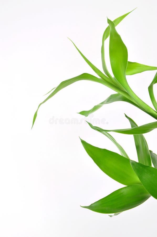 Glücklicher Bambus der Natur stockbild