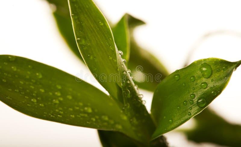 Glücklicher Bambus mit Wassertropfen lizenzfreie stockbilder