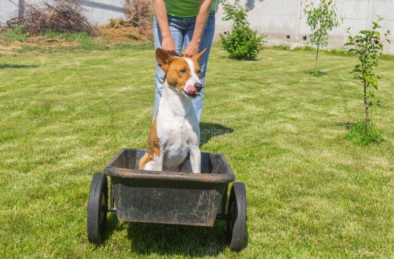 Glücklicher basenji Hund im Vorgeschmack wenn die kühle Fahrt auf einen Radkarren lizenzfreie stockbilder