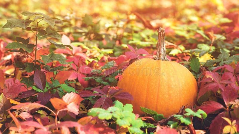Glücklicher Danksagungs-Tag Herbstferien Autumn Leaves Background Kürbis Schöner sonniger Herbsttag Hölzerner Weg lizenzfreies stockfoto