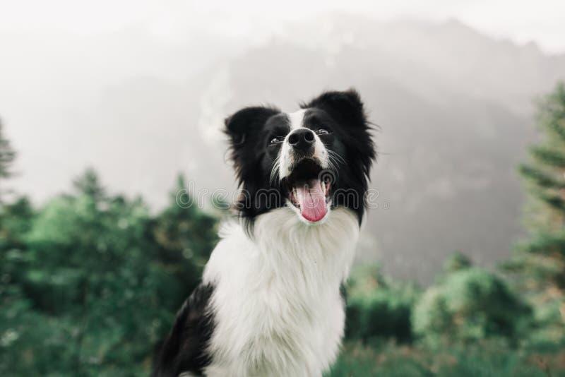 Glücklicher des Porträts schöner und lächelnder Schwarzweiss-Hund border collie auf dem Gebiet und Blick in camera Im Hintergrund stockfotografie