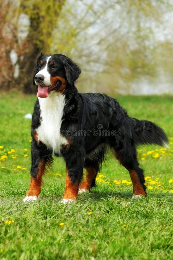 Glücklicher Familie Berner Sennenhund auf Sommernaturwegen stockbild