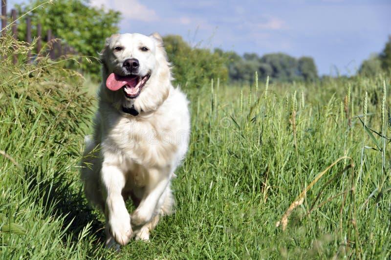 Glücklicher goldener Apportierhund lizenzfreie stockbilder